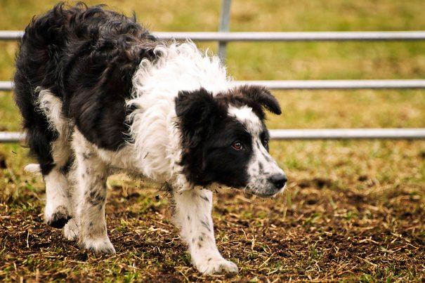 Nala, kursets yngste hund. 5,5 mnd gammel og helt fantastisk flink! Naturlig god!
